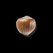 nocciola